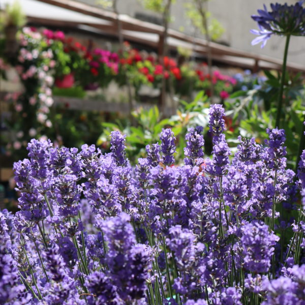 fleur-garden-gallery-lavanda